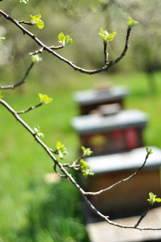 Beginnende Apfelblüte bei den Bienenkästen