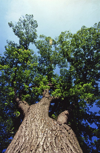 Looking up at the canopy of an American elm Tree. (USDA photo)