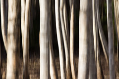 birch trunks (Explored)