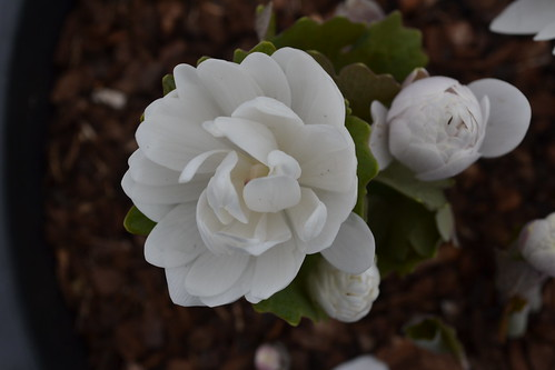 SANGUINARIA canadensis f. multiplex 'Plena'