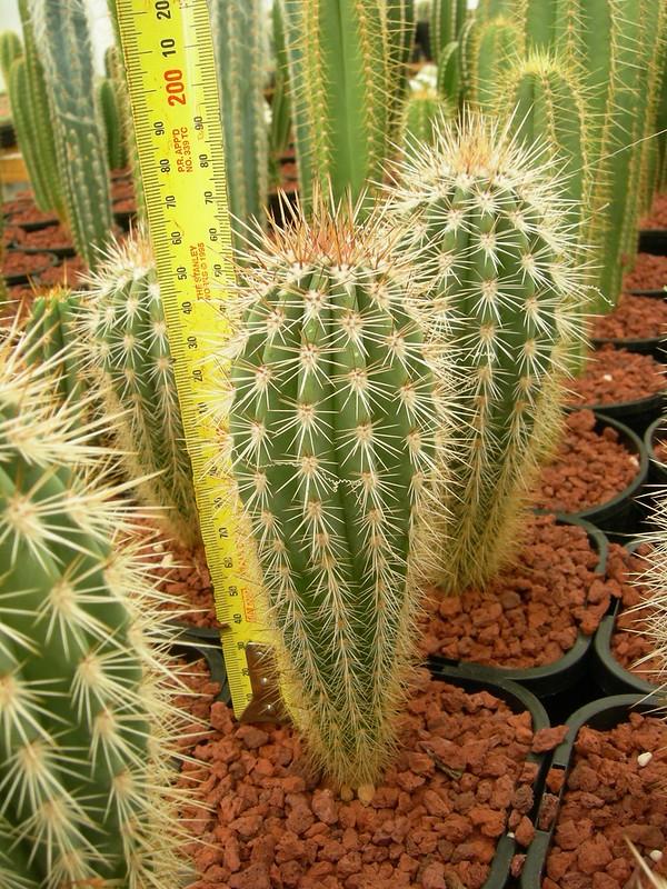 Pachycereus pringlei 8684746493_b9e3017b90_c