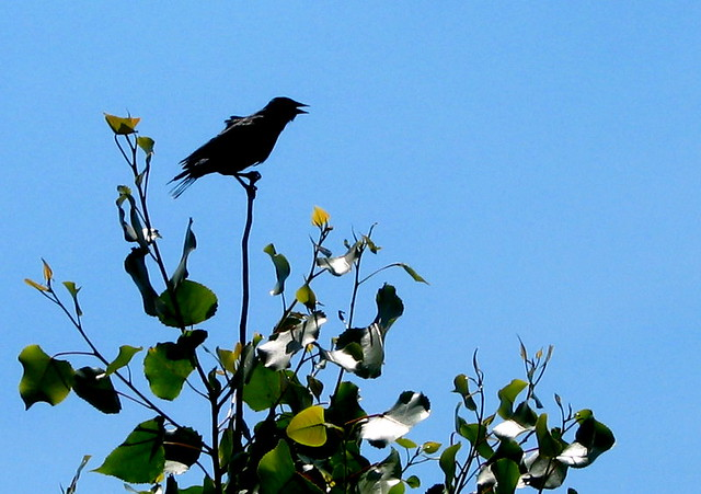 Crow on trees