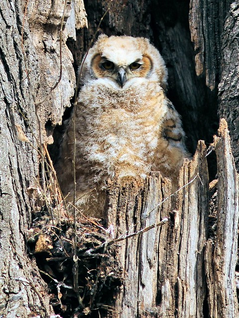 Great Horned Owlet 2-20130426