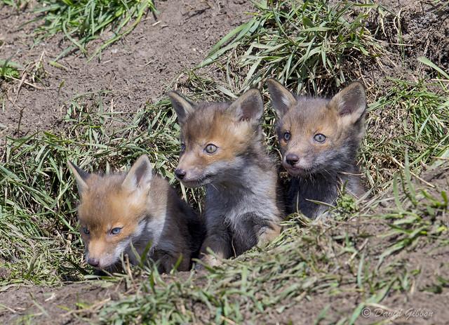 The Three Fox Cubs