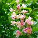 Small photo of Aesculus x carnea