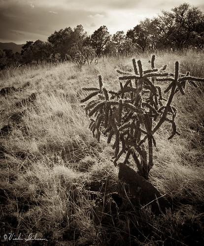 cactus sepia cholla