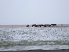 Run cows run, White out on I-70 Colorado