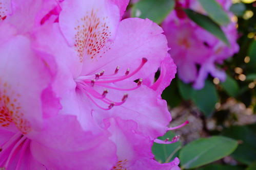Rhododendron F8