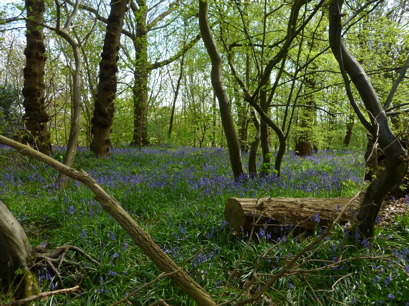 Bluebell wood near Fordwich