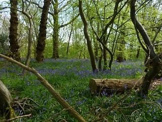 Bluebell wood near Fordwich