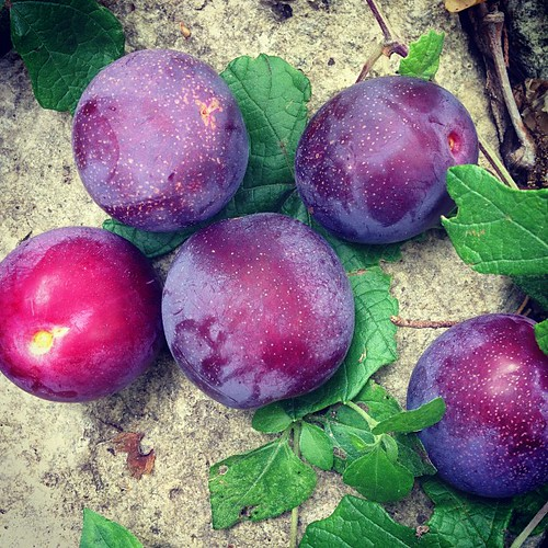 The plum tree planted seven years ago finally decided to bear fruit! They are incredibly juicy and delicious! So excited about this development...