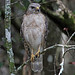 Red-shouldered Hawk, Tamiami Trail Loop Road (Florida), 14-Apr-13 by Dave Appleton