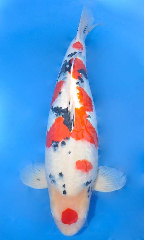 Ryuki narita s 2015 all japan grand champion for Champion koi fish