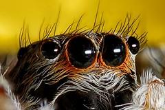 Spider eyes - Detail