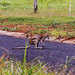 Small photo of Agile Wallaby (Macropus agilis)