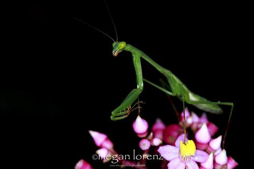 Praying Mantis by Megan Lorenz