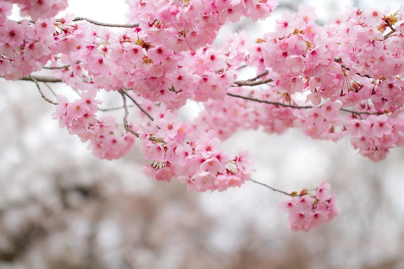 Sakura in Kyoto 22