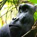 Western Lowland gorilla IMG_8591