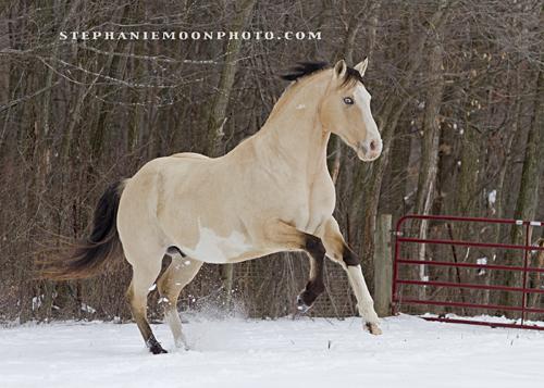 Gypsy Horses  Horses Sold