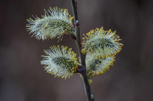 <p><i>Salix hookeriana</i>, Salicaceae<br /> Burnaby Lake Park, Burnaby, British Columbia, Canada<br /> Nikon D5100, 70-300 mm f/4.5-5.6<br /> March 23, 2013</p>