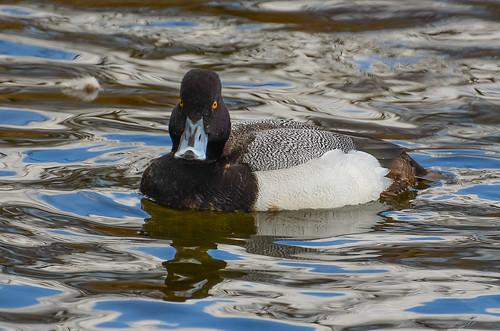 <p><i>Aythya marila</i>, Anatidae<br /> Burnaby Lake Park, Burnaby, British Columbia, Canada<br /> Nikon D5100, 70-300 mm f/4.5-5.6<br /> March 23, 2013</p>
