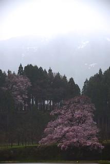 向野の桜@城端。