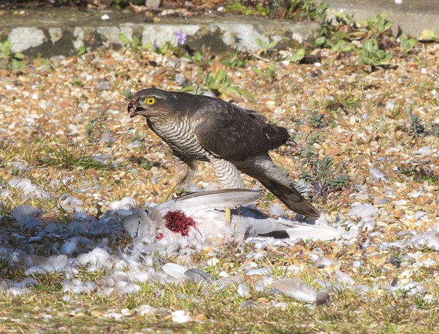 DSC_6140 Female Sparrowhawk with its prey