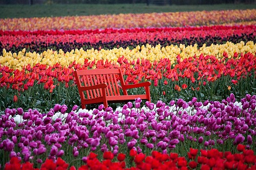 oregon tulips woodenshoetulipfestival