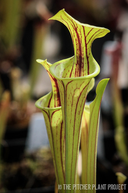 "Sarracenia flava ""Widemouth"" x flava var. ornata - Bulloch Co., GA"