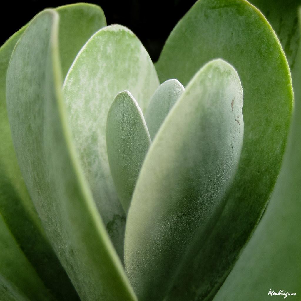 Crassula - Plante grasse