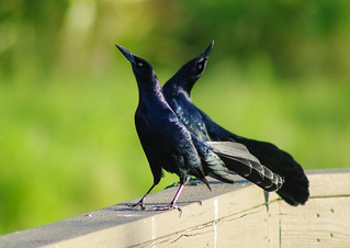 Grackles  Showing Off