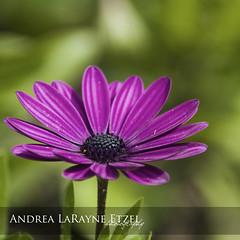 2013 Purple Daisy, Gage Park - Topeka, KS