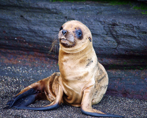 Three Week Old Baby Fur Seal by masaiwarrior