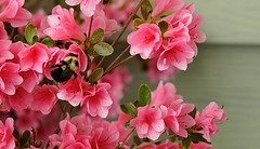 Pink Azalea and Bee    8250