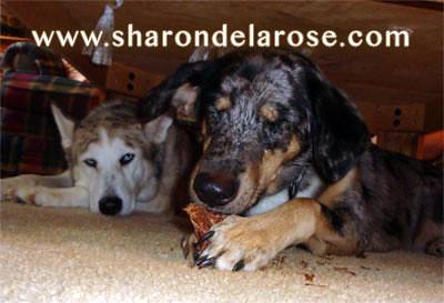 Catahoula Leopard Dog Eating Pine Cone