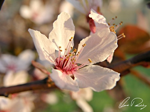 Blossom, april, art, background, beautiful, beauty, bloom, blooming, blossom, blossoming, blossoms, blue, botanical, botany, branch, bright, bud, cherry, close, closeup, color, culture, delicate, detail, easter, flora, floral, flower, fragrance, fresh, garden, gentle, green, isolated, japan, japanese, macro, may, nature, new, oriental, outdoor, petal, petals, pink, plant, pollen, sakura, season, soft, softness, spring, springtime, tender, texture, tree, twig, white, young