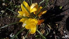crocus, flower, yellow, plant, flora,