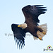 Flying Eagle!! by JRIDLEY1