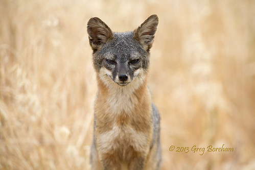Santa Cruz Island Fox Portrait