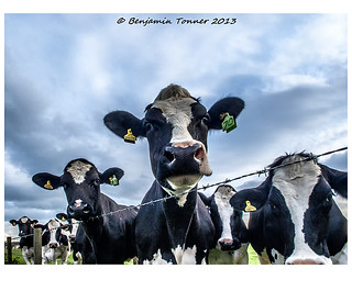 Bevy of bovine beauties