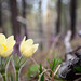 Small photo of Baikal flowers