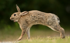 Stretching Wild Rabbit