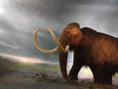 The mammoth at the Royal BC Museum