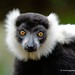 Black-and-white ruffed lemur by My Planet Experience