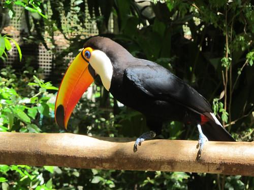 Le Parc des Oiseaux d'Iguaçu: le plus grand des toucans, le plus beau.