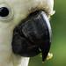 Sulphur-crested Cocatoo, Cacatua galerita