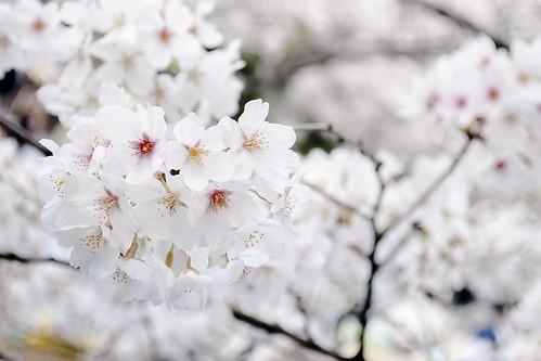新宿御苑花見
