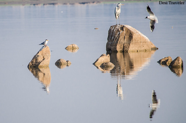 grey heron, river tern and common gul in gandipet