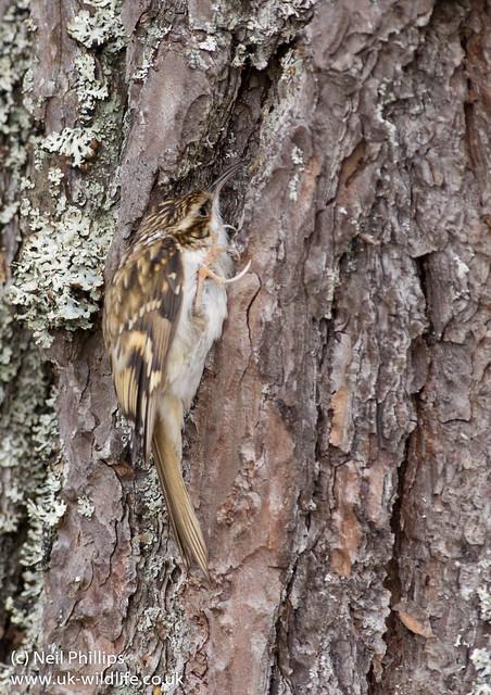 Treecreeper Certhia familiaris-2
