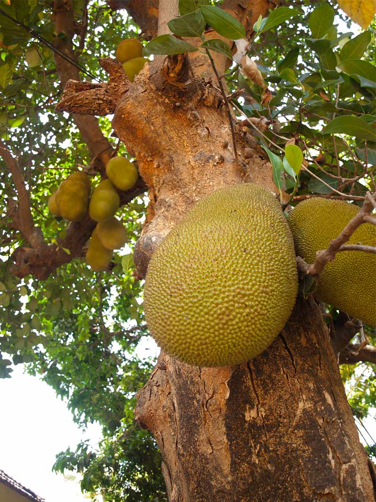 Tropical Fruit Garden India
